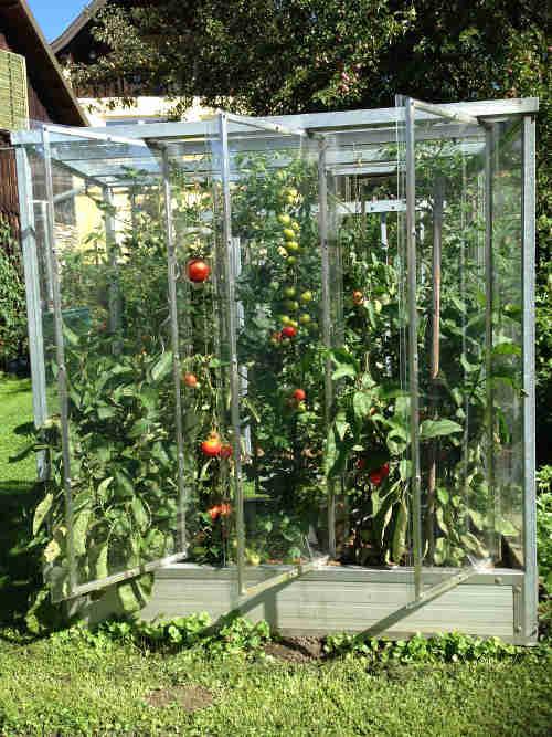 Tomatenhaus voll
