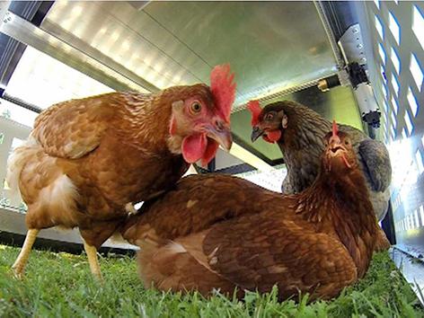 """Hühner im Hühnerstall """"VillaHenriette"""""""